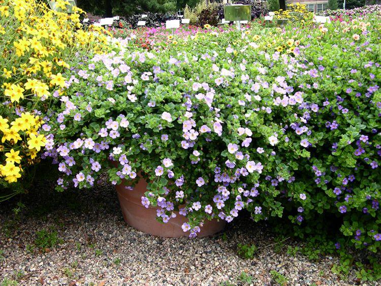 Цветы сутера