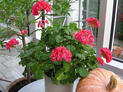 фото домашних цветов: