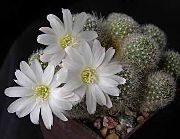 кактус пустынный Ребуция Rebutia 'Snow White'