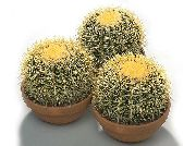 кактус пустынный Эхинокактус Echinocactus grusonii 'The Golden Barrel'