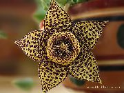 Carrion Plant, Starfish Flower, Starfish Cactus Planta marrom