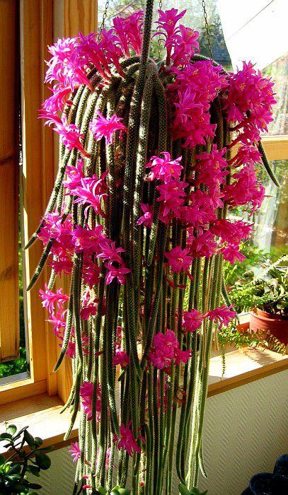 Комнатные кактусы названия и фото