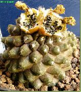 кактус пустынный Копиапоа  Копиапоа - Copiapoa hypogaea