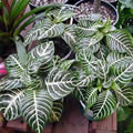 Houseplants (Indoor plants)