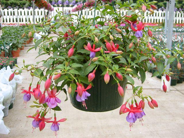 Комнатные цветы фуксия фуксия изящная