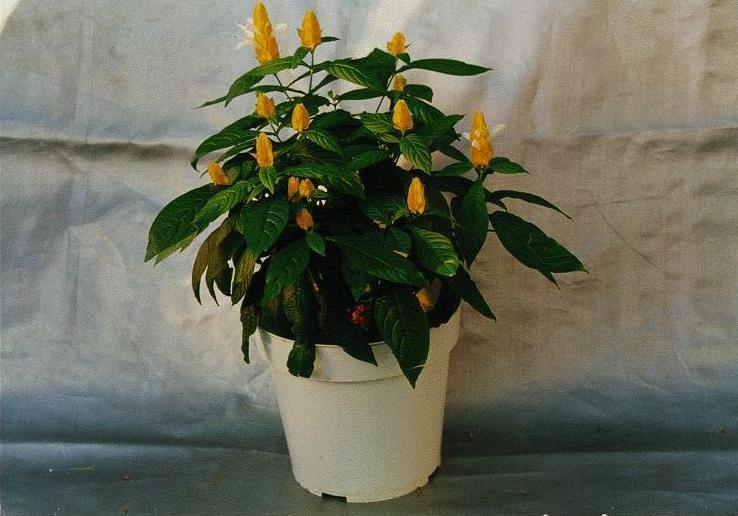 Как называется комнатный цветок с желтыми цветами