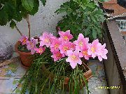 pink Flower Rain Lily,  (Zephyranthes) Houseplants photo