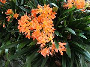 Bush Lilje, Boslelie Blomst orange