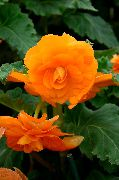 Begonia Blomst orange