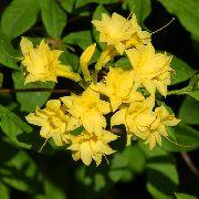 Желтые цветы комнатные