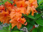 Asalea, Pinxter Blomst  orange