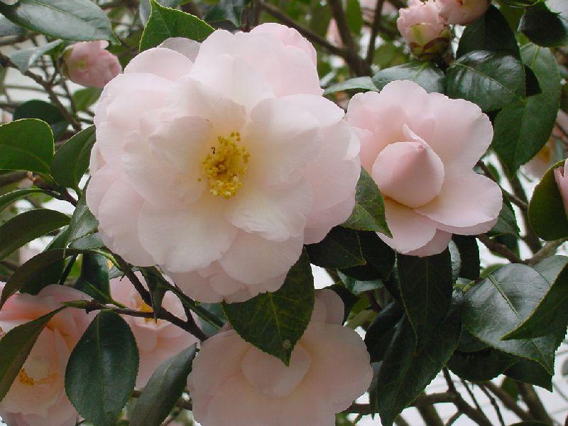 камелия цветок  и уход