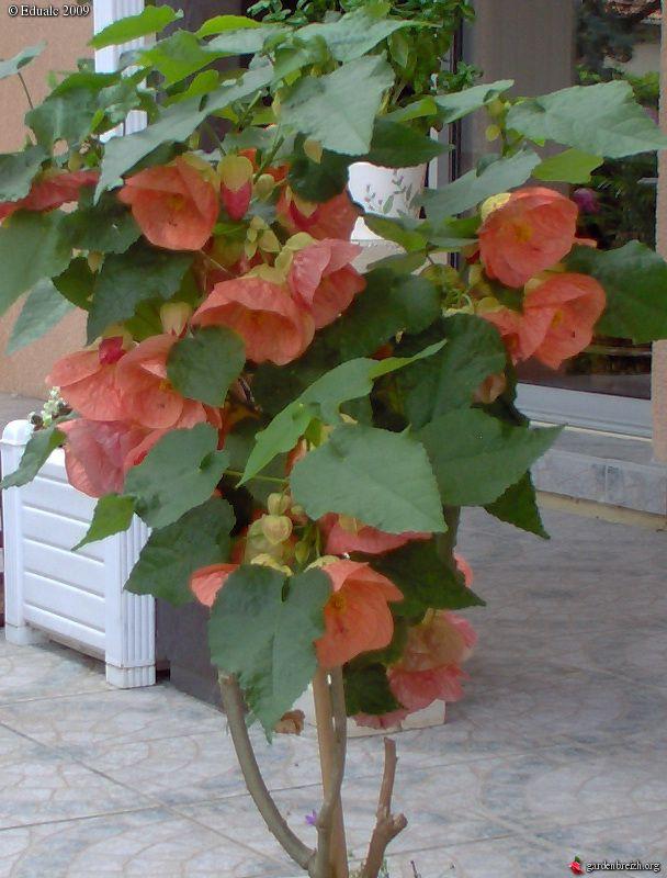 Цветок комнатный клён