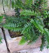 Holly Fern Planta verde escuro