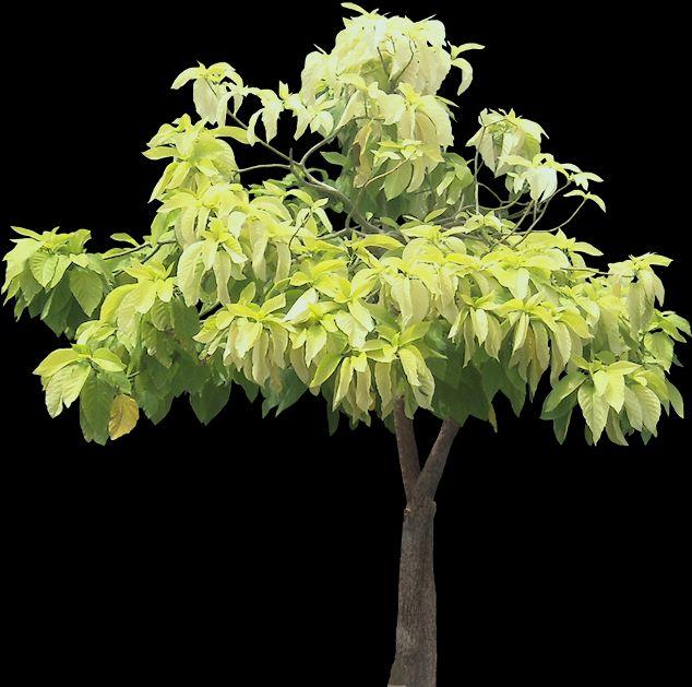 Комнатные растения пизония пизония