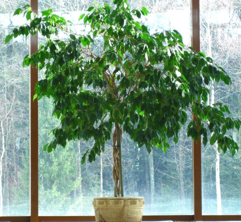 домашние деревья растения в картинках