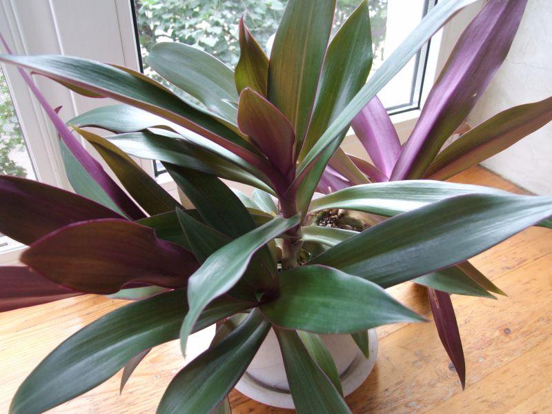 Цветок с фиолетовыми листьями комнатный