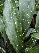 Aspidistra, Bar Room Plant, Cast Iron Plant  motley