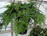 Комнатные растения и цветы на букву д ж описание фото