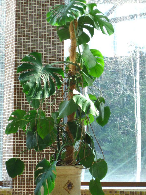 Лиана растение уход в домашних условиях 741