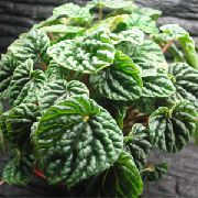 Radiator Plant, Watermelon Begonias, Baby Rubber Plant  dark green