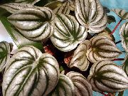 Radiator Plant, Watermelon Begonias, Baby Rubber Plant  silvery
