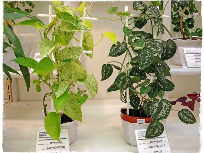Комнатные растения сциндапсус лианы
